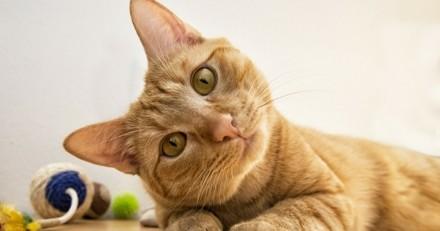 Grande enquête Wamiz / SPA : Le prix, un frein à la stérilisation des chats ? (Infographie)