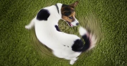 Pourquoi mon chien tourne sur lui-même et veut attraper sa queue ?