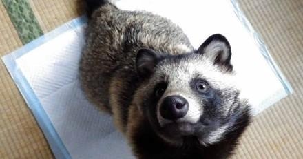 A mi-chemin entre la raton-laveur et le chien, un tanuki fait fondre le Web!