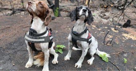 Ces deux chiens retrouvent des koalas qui ont survécu aux incendies en Australie (Vidéo)