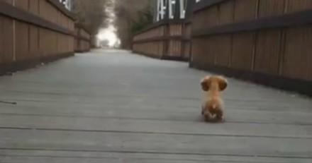 Ce bébé Teckel sur un pont fait fondre le web tout entier (Vidéo du jour)