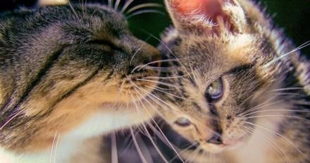 10 moments de tendresse entre un chaton et un chat adulte