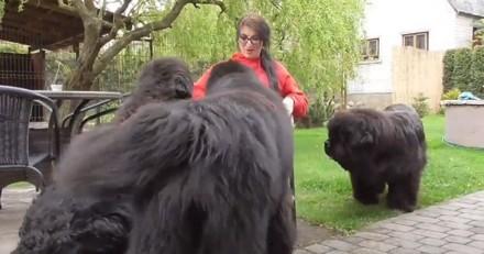 Les immenses Terre-Neuve encerclent leur maîtresse : la réaction des chiens coupe le souffle (Vidéo)