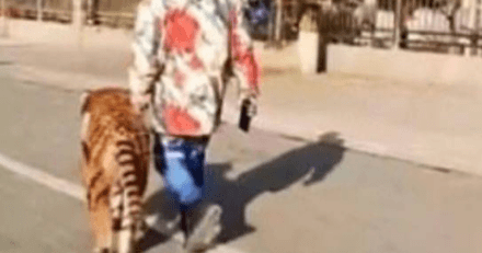 Dans la rue, il voit un homme promener un tigre en laisse, mais la réalité est toute autre