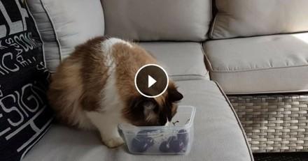 La première rencontre de Timo le chat et… des cerises (Vidéo du jour)