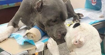 Après avoir assisté à la mort tragique de leur maître, ces 2 Pitbulls ont trouvé une belle façon de se réconforter (Vidéo)