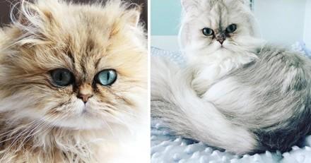 Top 10 des plus beaux chats Persans du Web