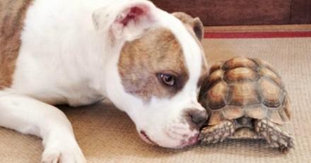 La belle amitié entre un chien et une tortue est la chose la plus mignonne du jour (Photos)