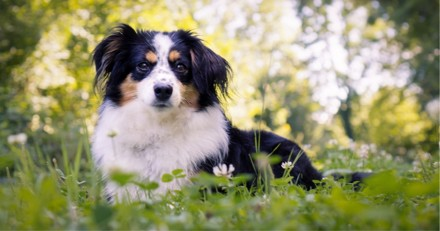 Berger australien : tout savoir sur cette race de chien