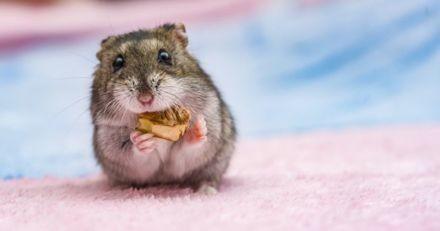 Comment prendre soin d'un hamster russe ?