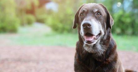 Comment s'occuper d'un vieux chien cardiaque ?