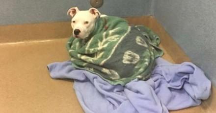 Ce chien abandonné dans un refuge ne veut pas quitter ses couvertures