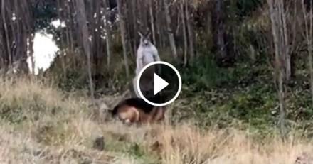 Dingue ! Un chien et un kangourou en pleine dispute (Vidéo du jour)