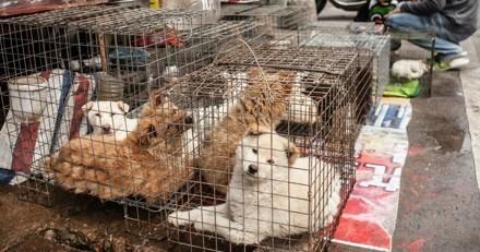 La réalité de l'industrie de la viande de chien en Corée, c'est ça :