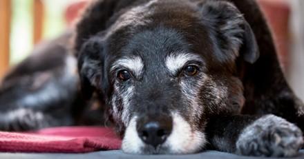 Les signes de vieillissement chez le chien