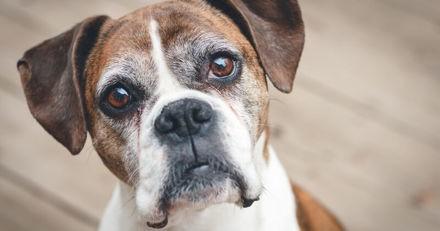 Longévité et cause de mortalité chez le chien : de grosses différences entre les races