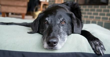 Mon chien âgé se traîne, comment lui redonner du pep's ?