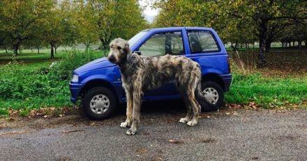 Ces 10 photos de Lévriers irlandais, les plus grands chiens au monde, vont vous donner le sourire