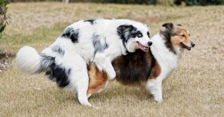 Mon chien chevauche trop, que faire ?
