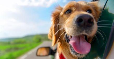 Uber propose désormais une option « voyage avec animaux de compagnie » à ses clients