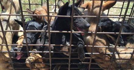 Non, le festival de la viande de chien de Yulin n'est pas fini, il commence aujourd'hui