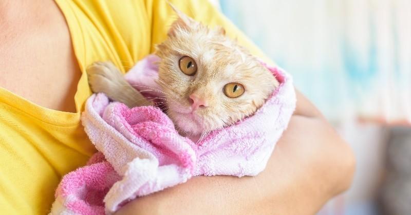 quand faut il laver son chat entretenir son chat wamiz. Black Bedroom Furniture Sets. Home Design Ideas