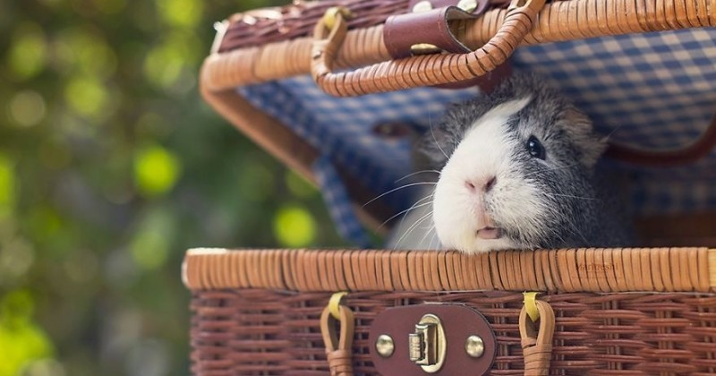 Pourquoi Mieps est le cochon d'inde le plus cool au monde ?