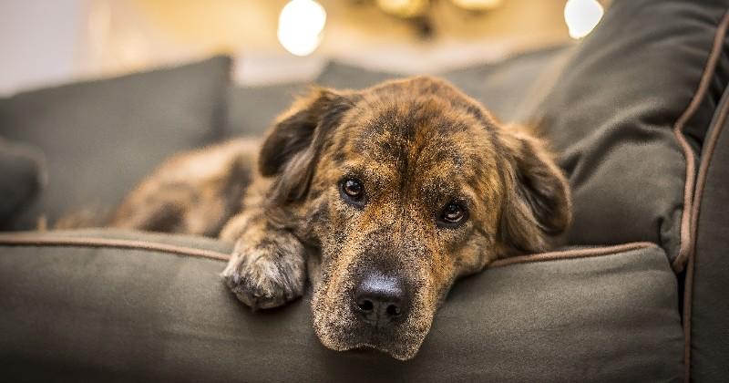 Comment aider son chien à faire le deuil d'un congénère ?