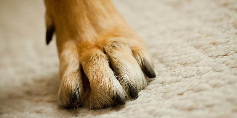 6 conseils pour prendre soin des pattes de son chien - Couper les griffes d un chiot ...