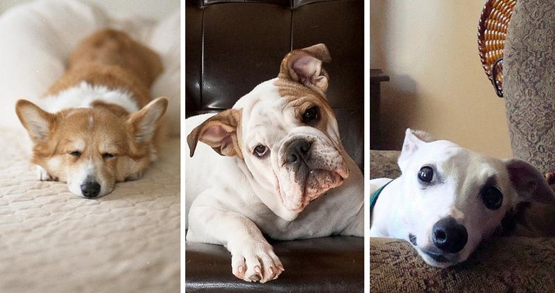 10 races de chiens qui peuvent vivre en appartement. Black Bedroom Furniture Sets. Home Design Ideas
