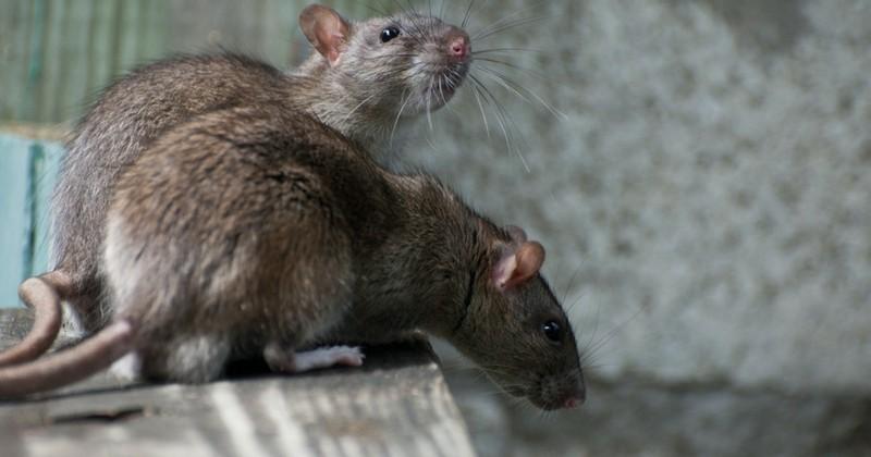 Les rats sentent le vent grâce à leurs vibrisses