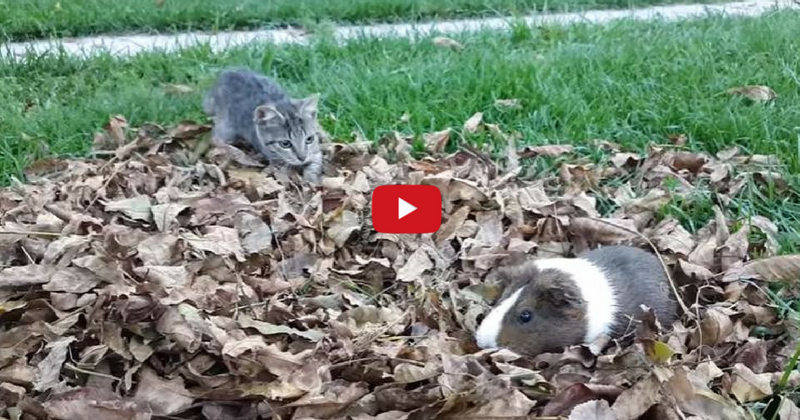 Un chaton et un cochon d'Inde profitent de l'automne et c'est adorable (Vidéo du jour)