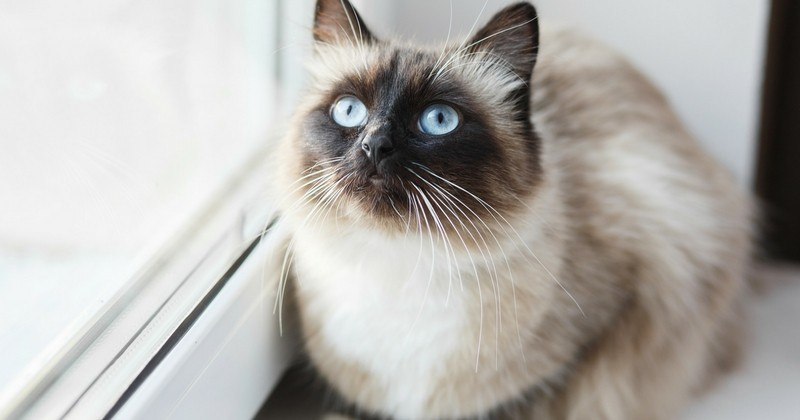 Les races de chats et leurs comportements photos choisir son chat wamiz - Chat tout mignon ...