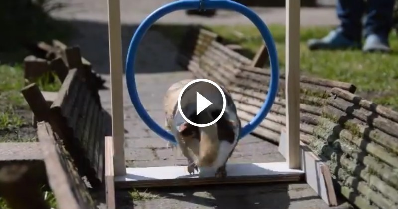 Sportifs, ces adorables cochons d'Inde qui s'entraînent vont vous bluffer ! (Vidéo du jour)