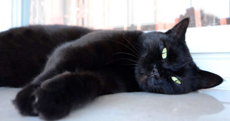 Macak, le chat noir qui a inspiré ses inventions à Nikola Tesla