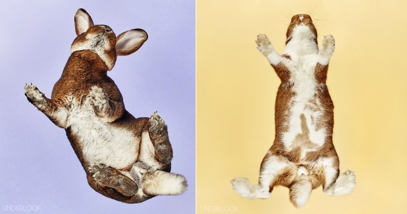 Under-Rabbits : après les chats, il photographie les dessous des lapins