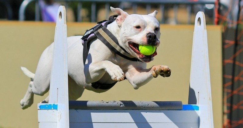 Le flyball, ce sport qui rapproche les humains et leurs chiens