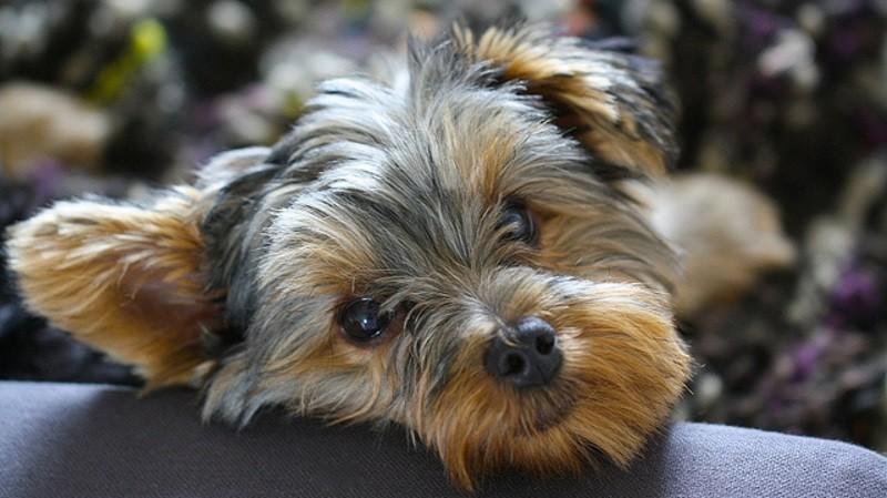 Yorkshire terrier tout savoir sur cette race de chien choisir son chien wamiz - Coupe de poils pour yorkshire ...