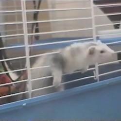 Un furet s'échappe de sa cage évasion