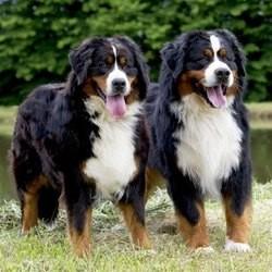 bouvier bernois tout savoir sur cette race de chien choisir son chien wamiz. Black Bedroom Furniture Sets. Home Design Ideas