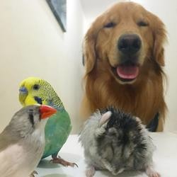 golden retriever hamster oiseaux