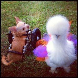 un Chihuahua handicapé ami avec un poulet