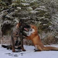 un chien et un renard meilleurs amis