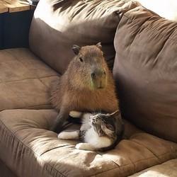 joejoe le capybara et scooter le chaton