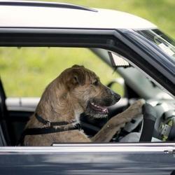 Des chiens apprennent à conduire en Nouvelle-Zélande