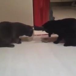 2 chats partagent une gamelle