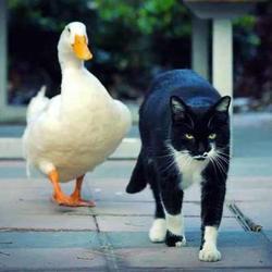 un chat se lie d'amitié avec un canard