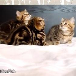 3 chatons tentent d'attraper un jouet
