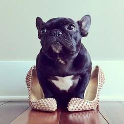 Trotter, chien bouledogue français star du web