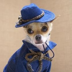 Monjiro Chihuahua